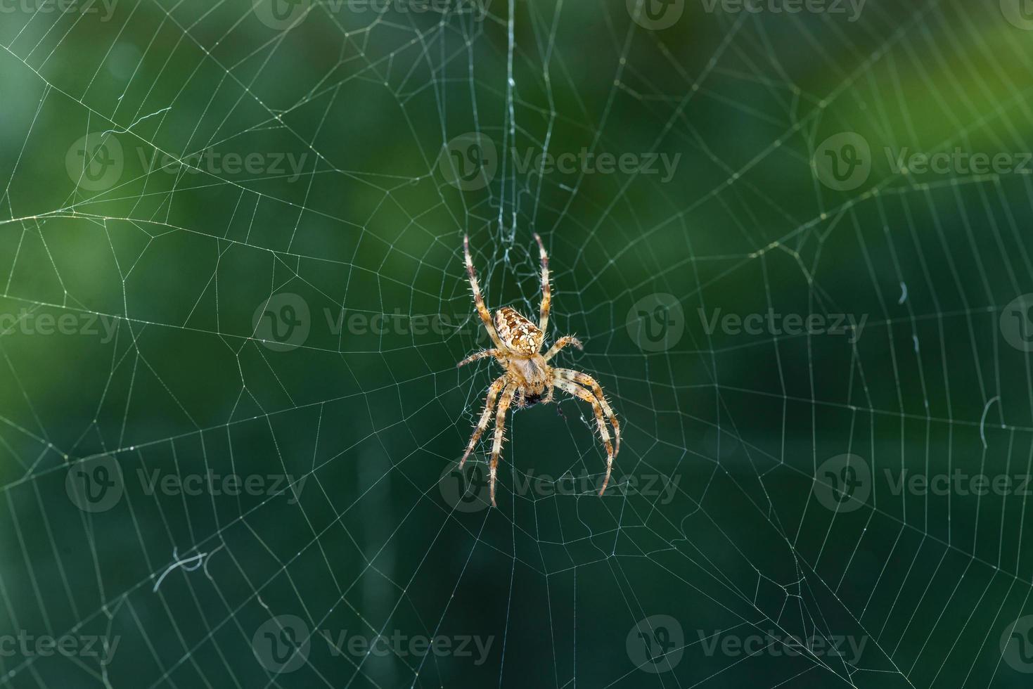araignée de jardin au centre de la toile photo