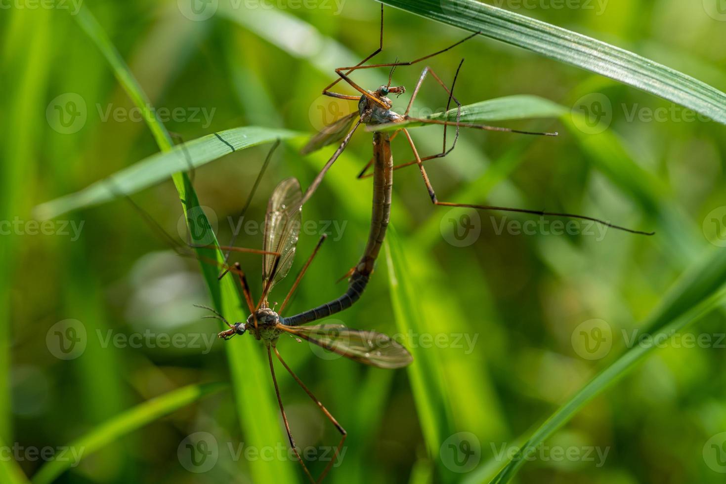 Gros plan de deux mouches grue accouplement photo