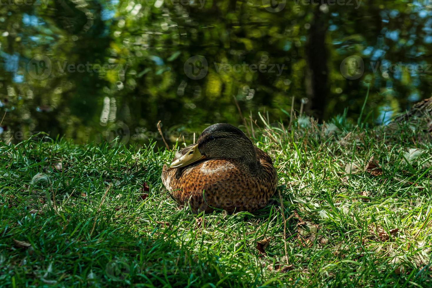 Canard colvert femelle au repos dans l'herbe verte photo
