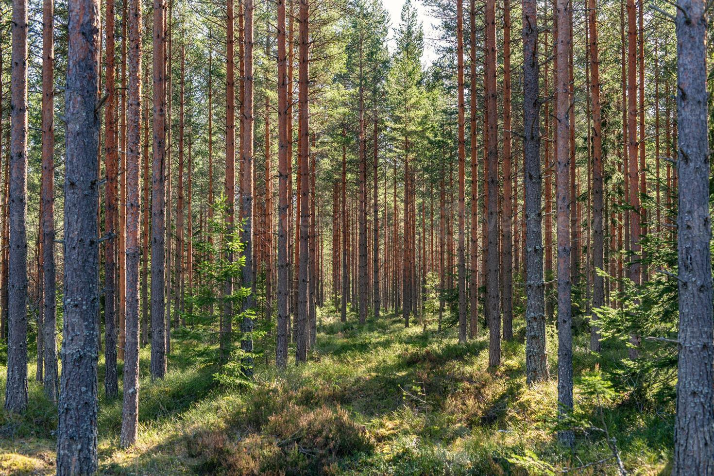 Belle jeune forêt de pins au soleil du printemps photo