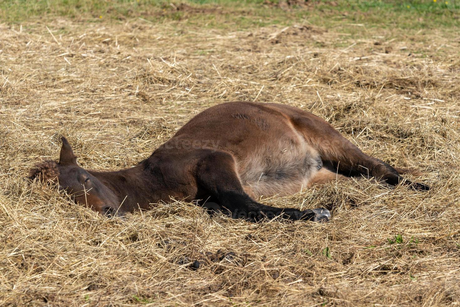 Jeune poulain cheval islandais endormi dans la lumière du soleil photo