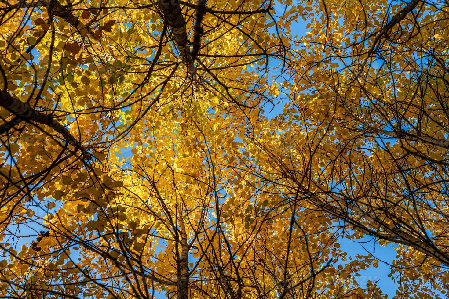 Low angle view of tree canopies avec des feuilles jaunes vibrantes photo