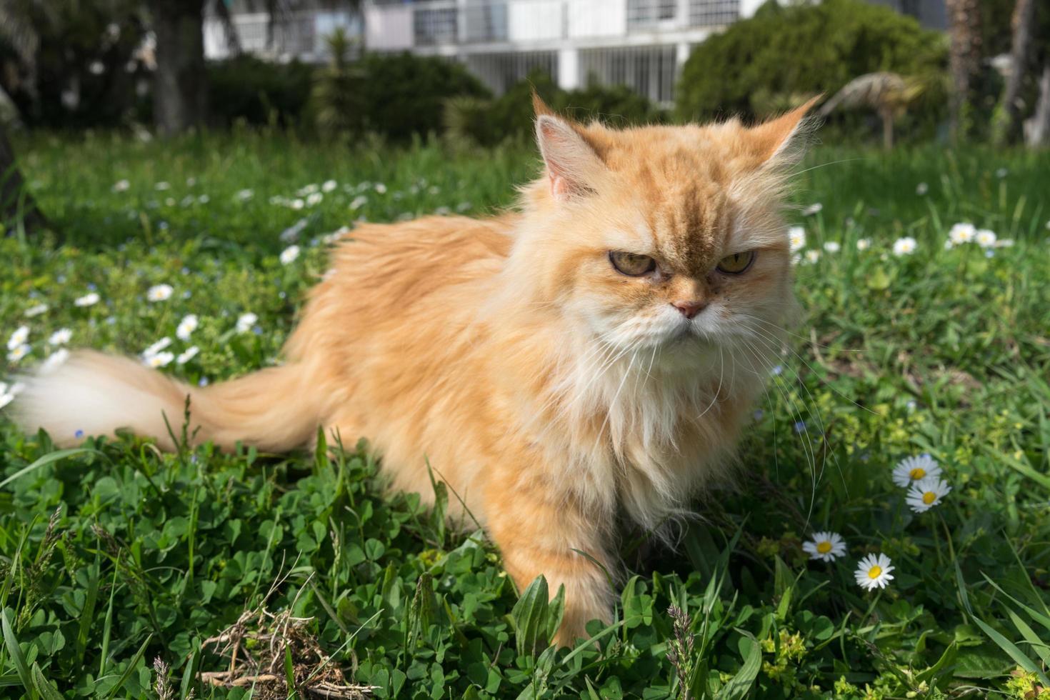 chat rouge moelleux se promène dans l'herbe et les fleurs. photo