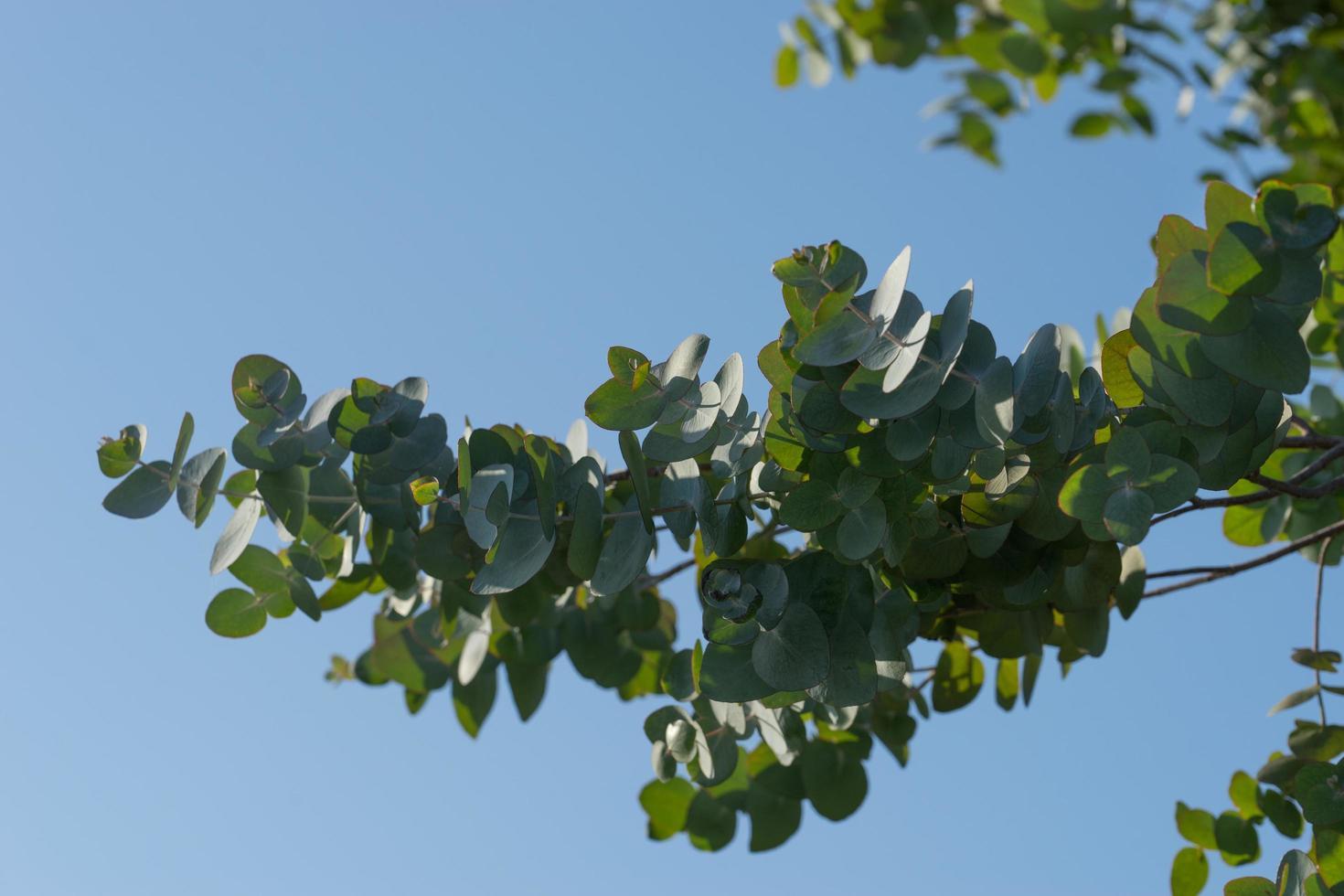 une branche d'eucalyptus aux feuilles argentées photo