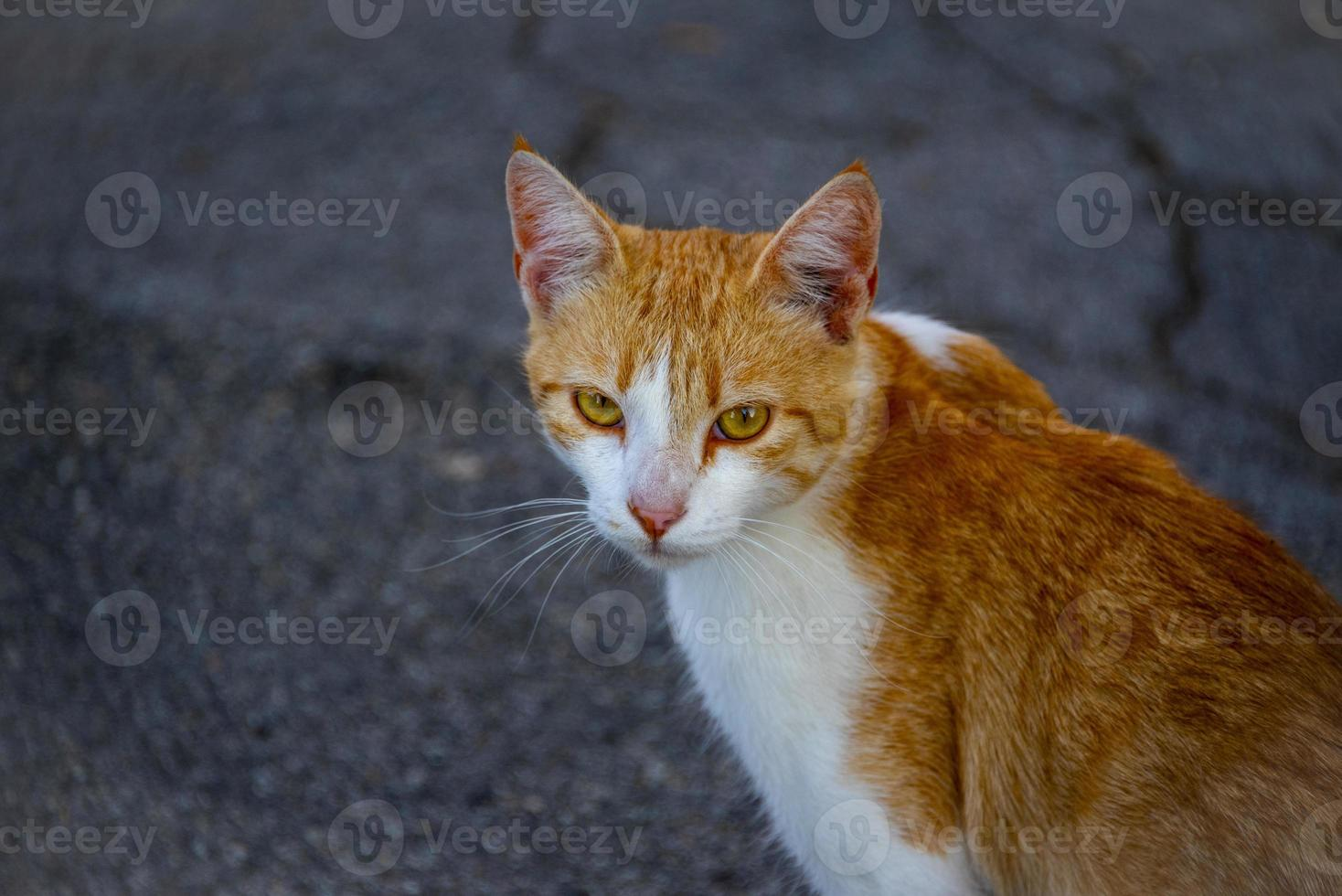 gros plan, de, a, chat rouge, blanc, rue photo