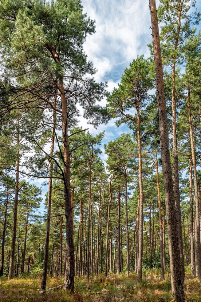 forêt de pins lumineux avec ciel bleu et fougères photo