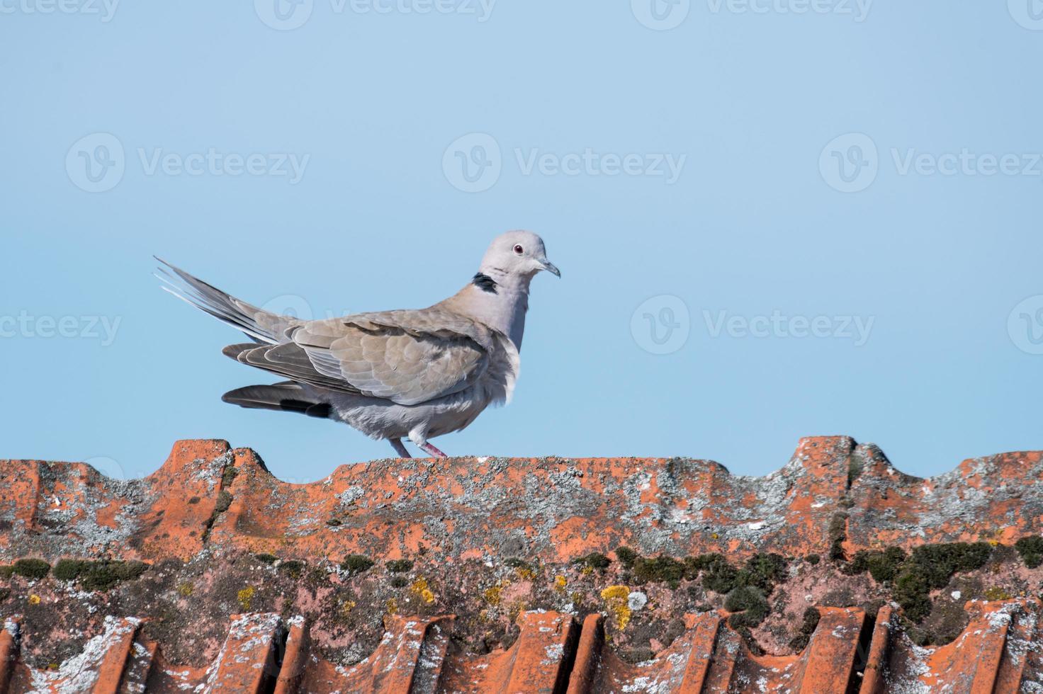 Ringdove marche sur une crête de toit avec espace de copie photo