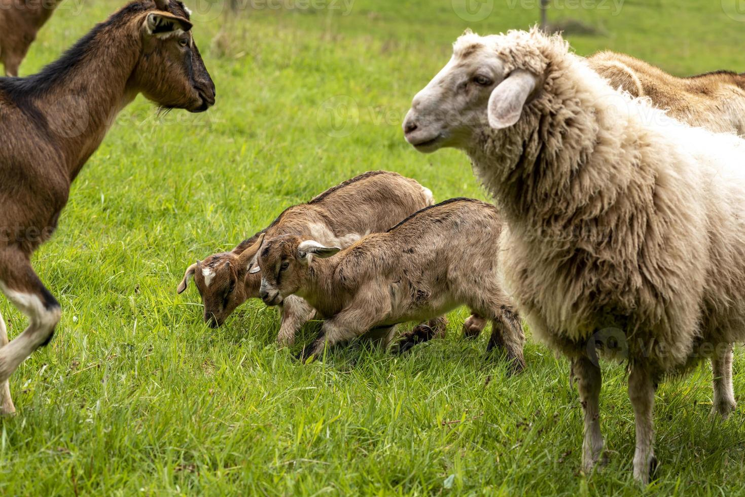 Deux jeunes chèvres domestiques marron et blanc jouant avec des moutons et des chèvres adultes photo