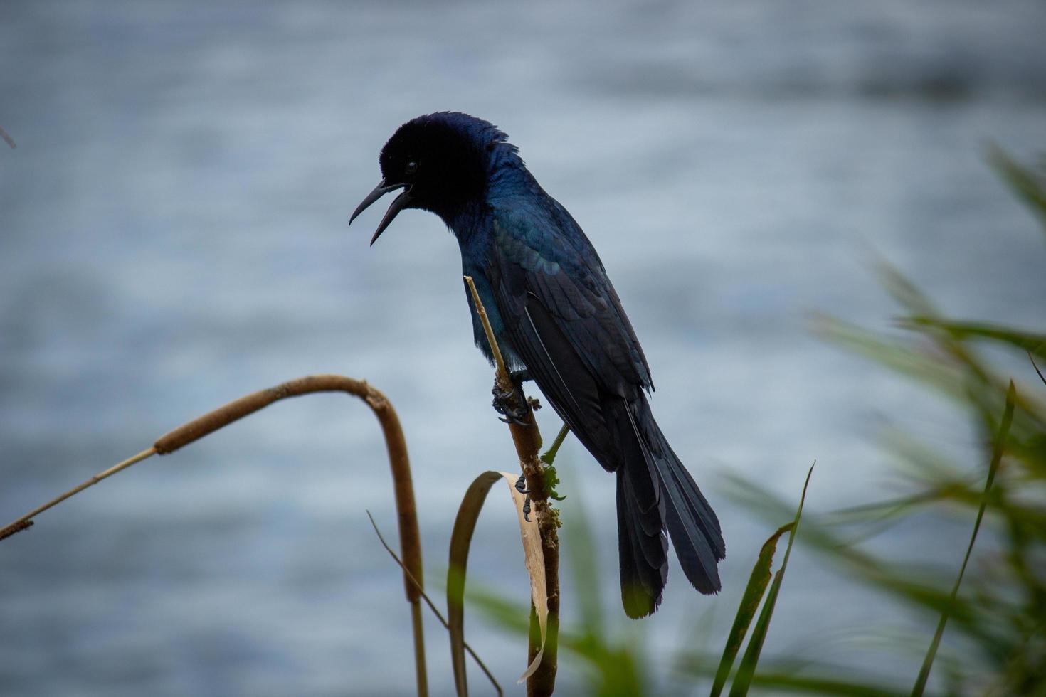 Photographie de mise au point sélective d'oiseau noir perché sur bâton photo