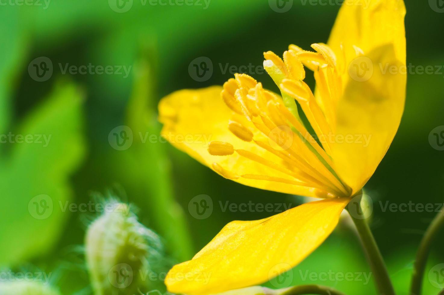 Anémone jaune en macro sur fond flou vert photo