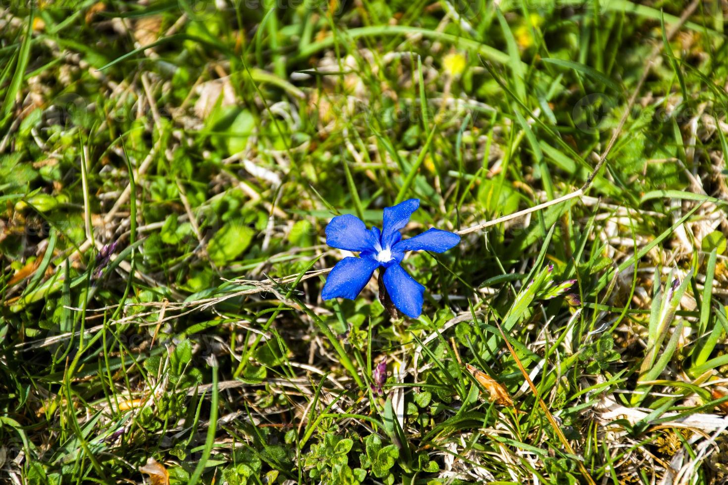 gentiane en fleur photo