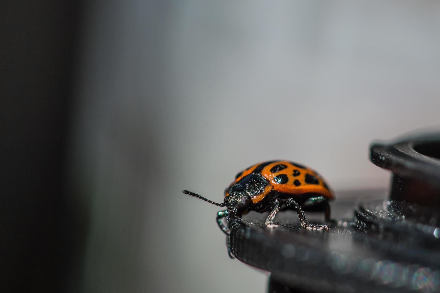 bug avec corps orange et points noirs en macro photo
