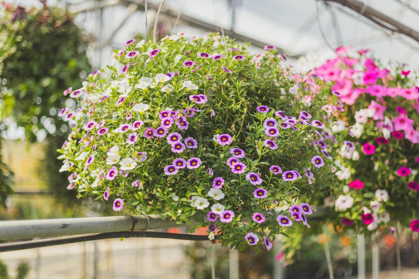 fleurs suspendues violettes photo