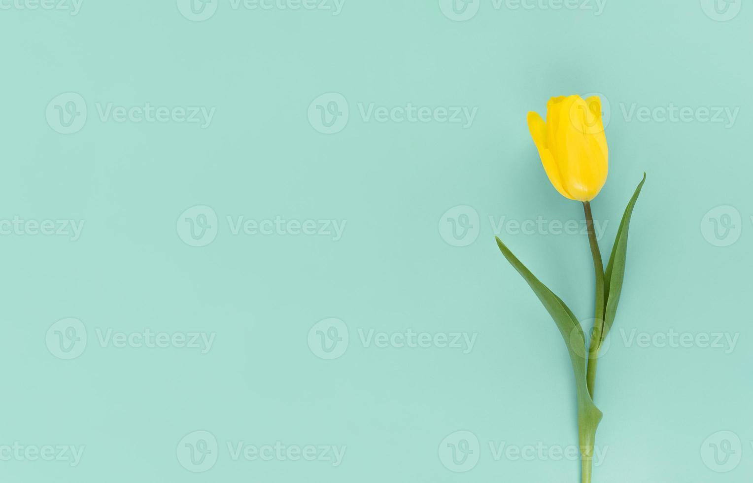 Tulipe jaune sur fond vert plat mimimaliste poser avec espace copie photo