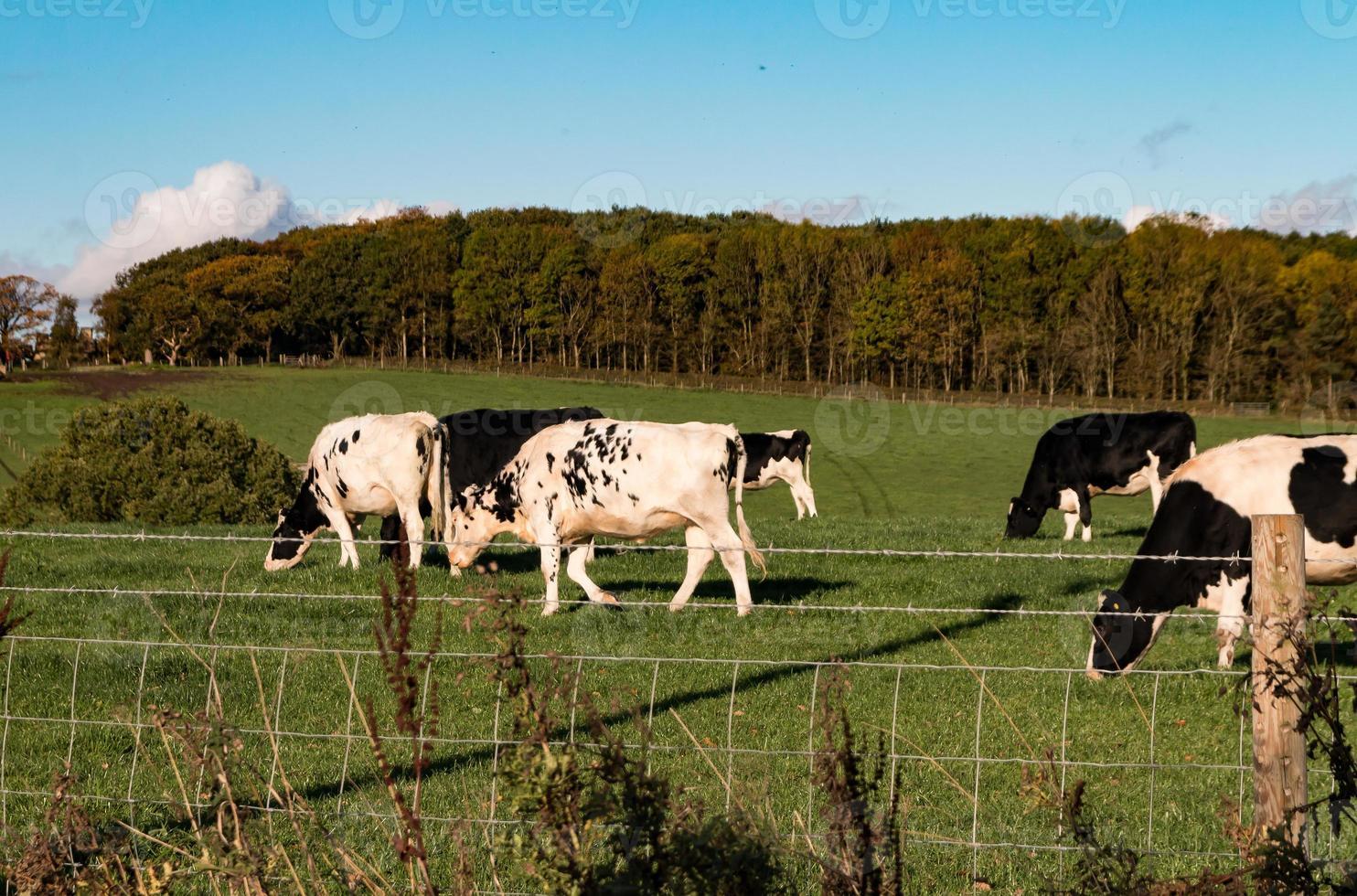 bétail noir et blanc dans le pays photo