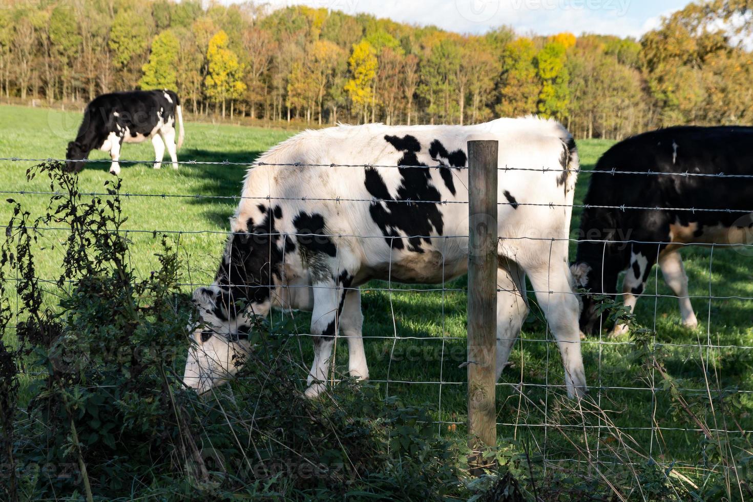 bétail noir et blanc photo