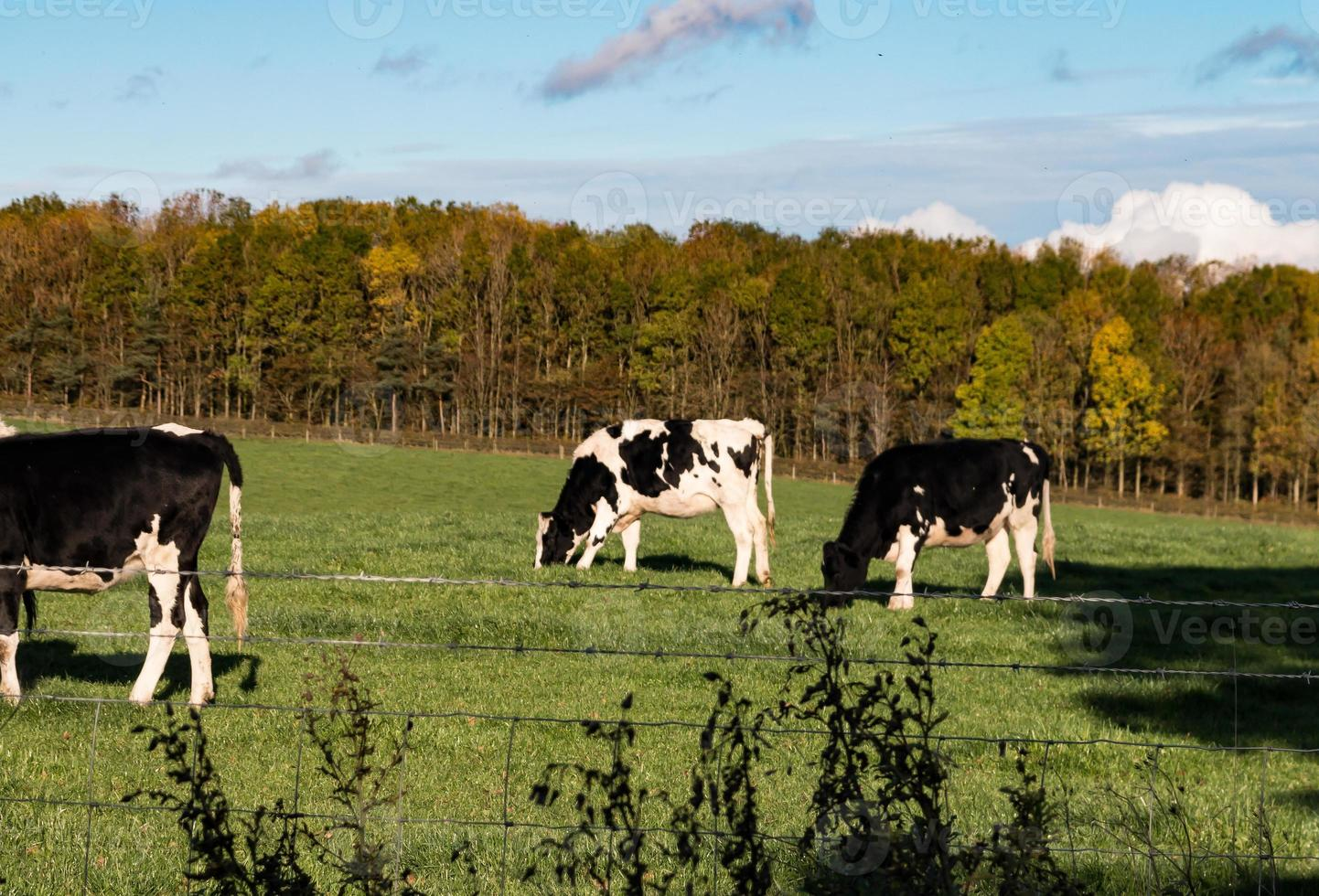 bétail noir et blanc dans un champ photo