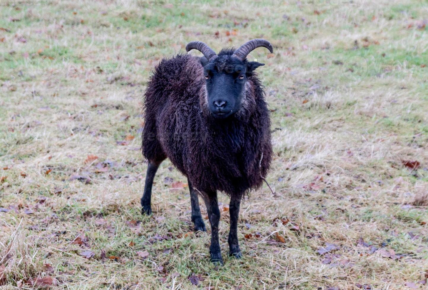 cornes de mouton noir photo