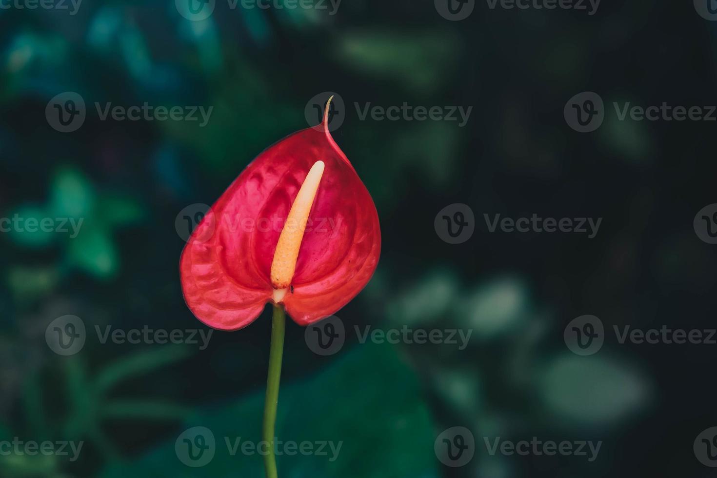 Mise au point sélective des plantes d'intérieur d'anthurium à fleurs photo