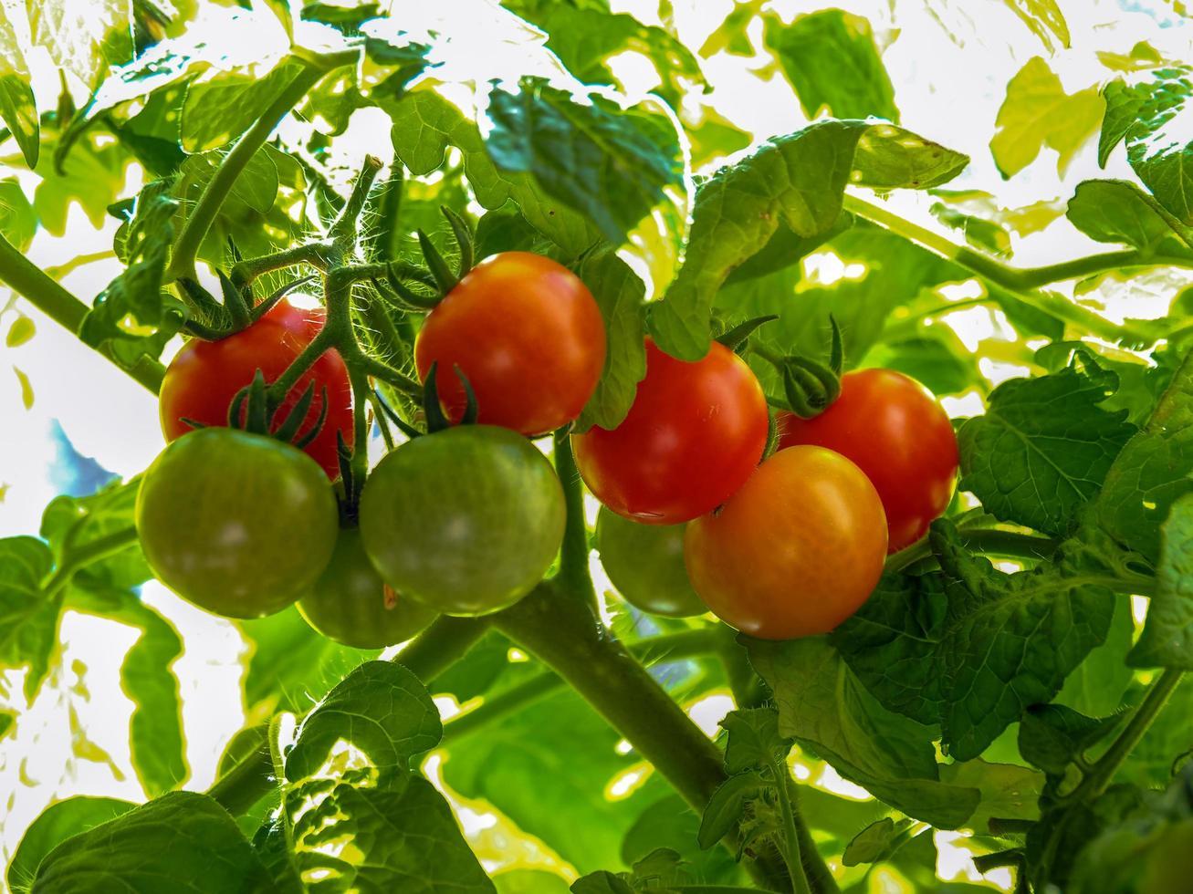 tomates mûres et non mûres se développant sur une ferme photo