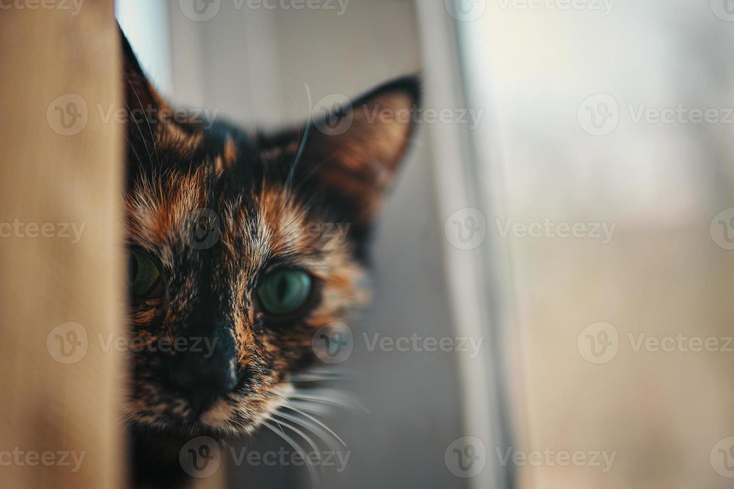 un chat multicolore sort de derrière le rideau. photo