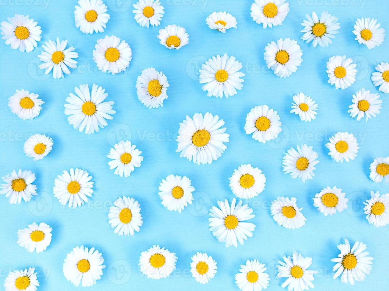 motif de fleurs de camomille sur fond bleu. photo
