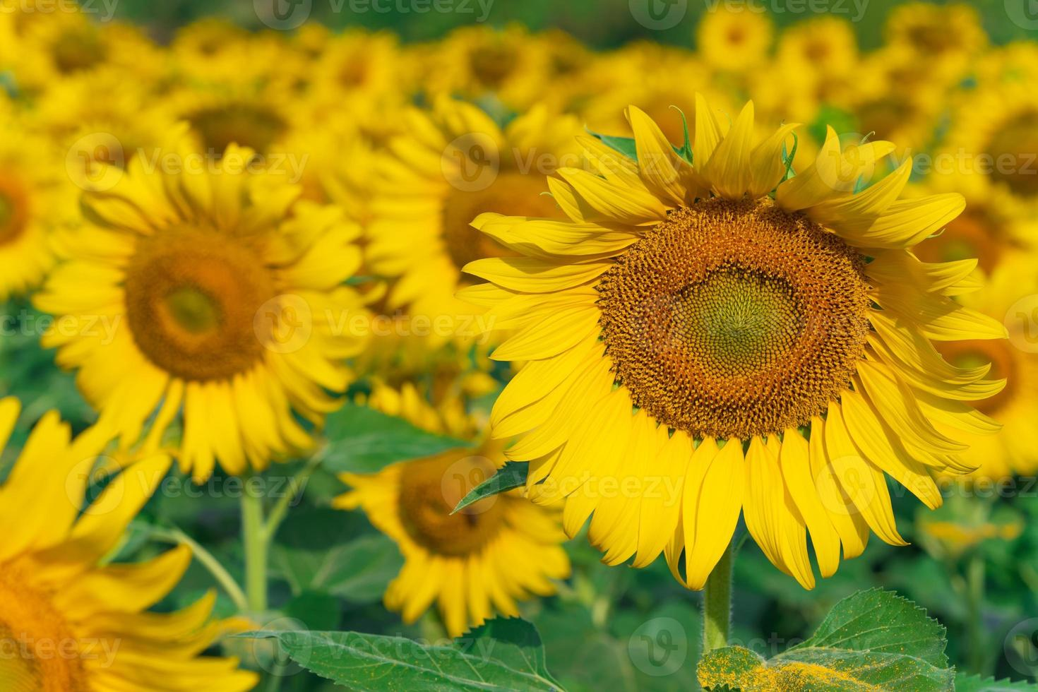 fond naturel de tournesols en fleurs photo