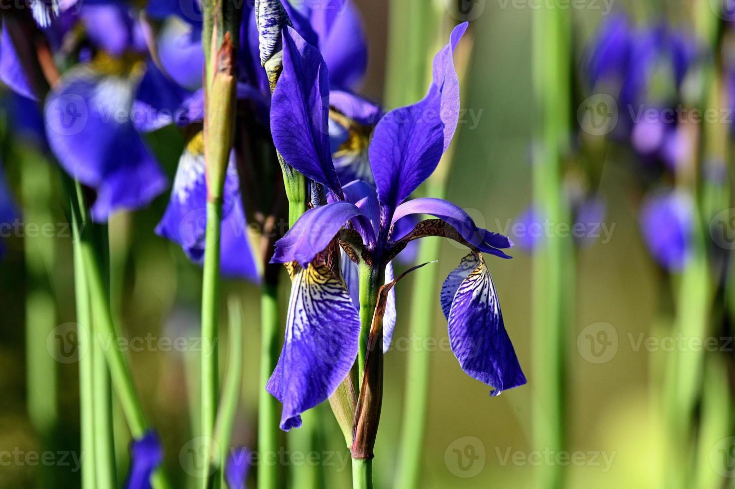beaucoup d'iris bleu vif photo