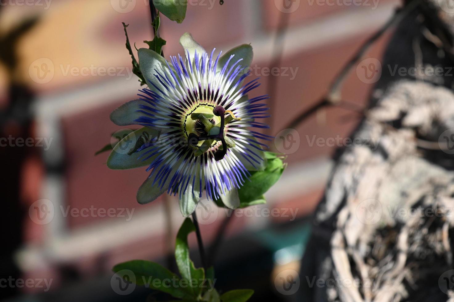 plante grimpante en fleurs passiflore photo