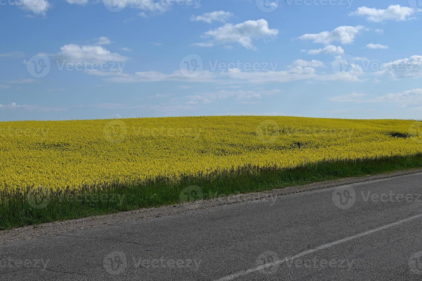 champ jaune au bord de la route photo