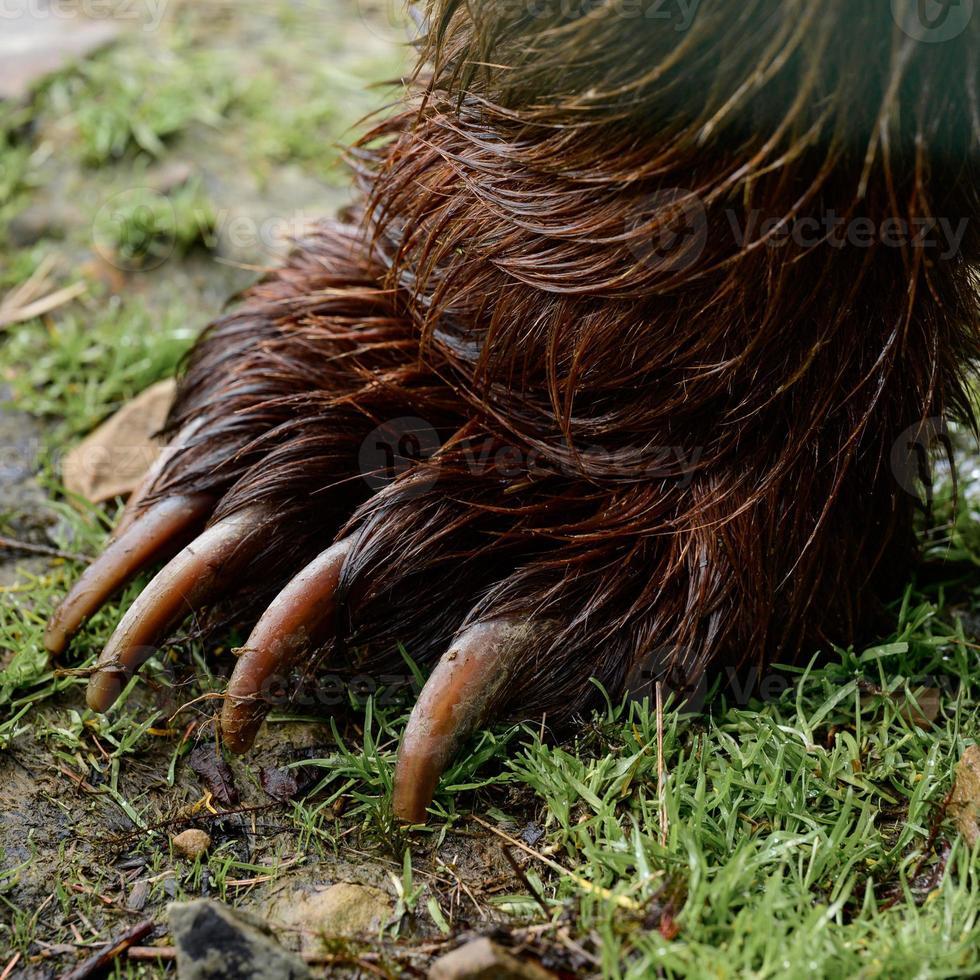 patte d'ours en gros plan, griffes d'un prédateur forestier, patte d'ours avec des griffes. photo