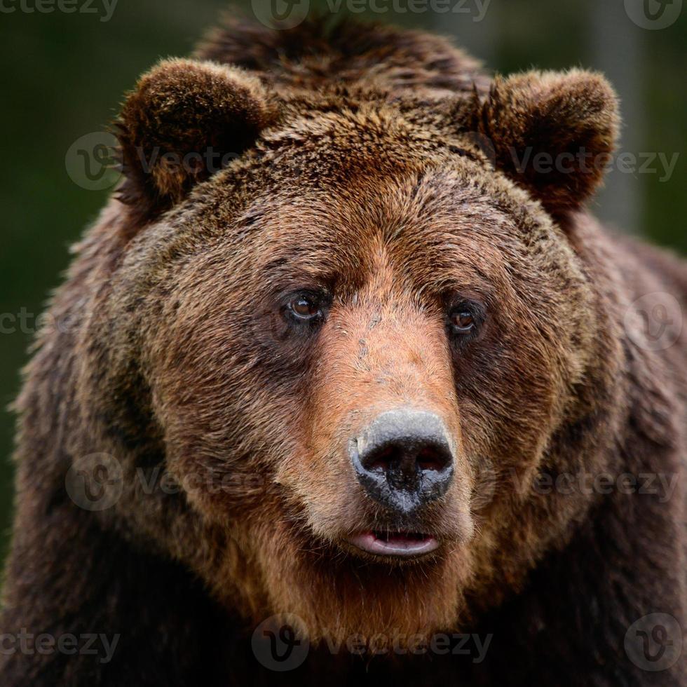 ours bruns à l'état sauvage, un grand mammifère après l'hibernation, un prédateur dans la forêt sauvage et la faune. photo
