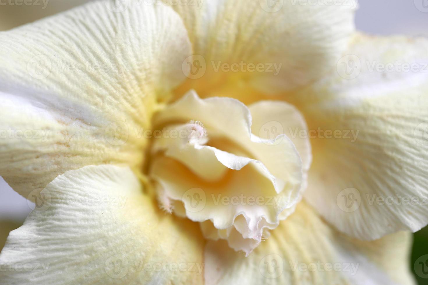 fleur de roses du désert photo