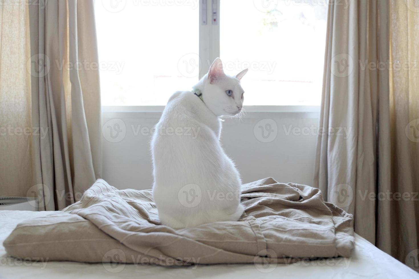 chat blanc détendu photo