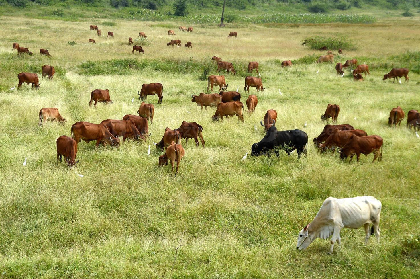 les vaches et les taureaux paissent sur un champ d'herbe luxuriante photo