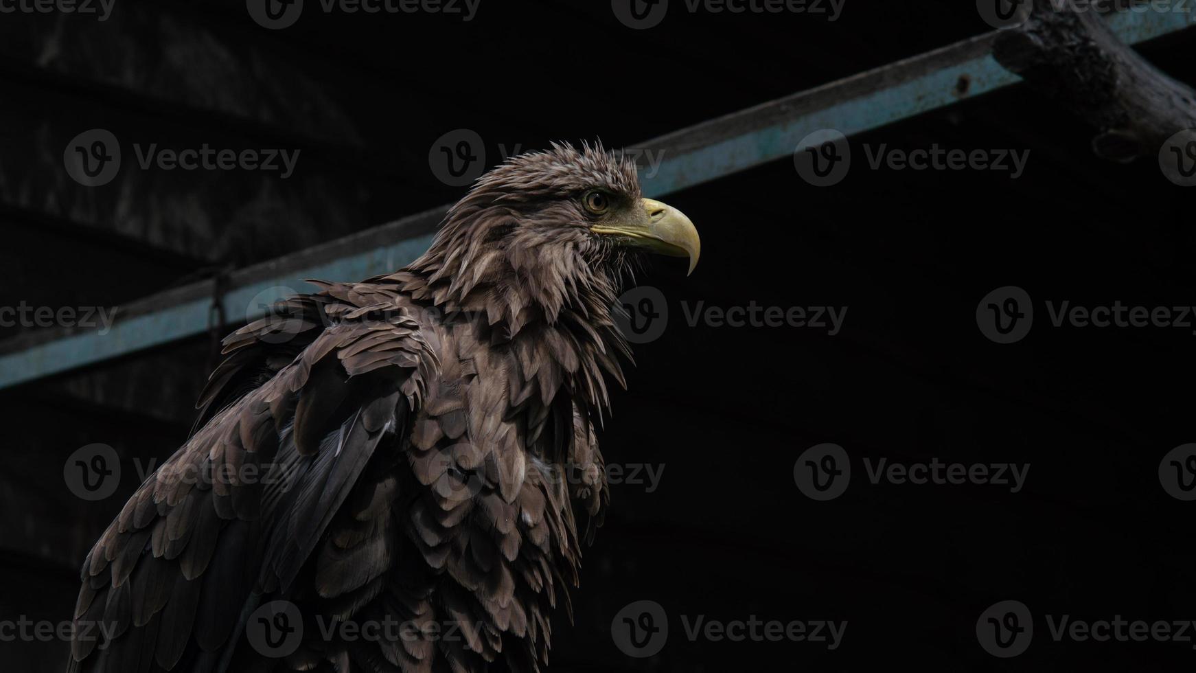 Aigle à queue blanche adulte agrandi. aigle ukrainien photo