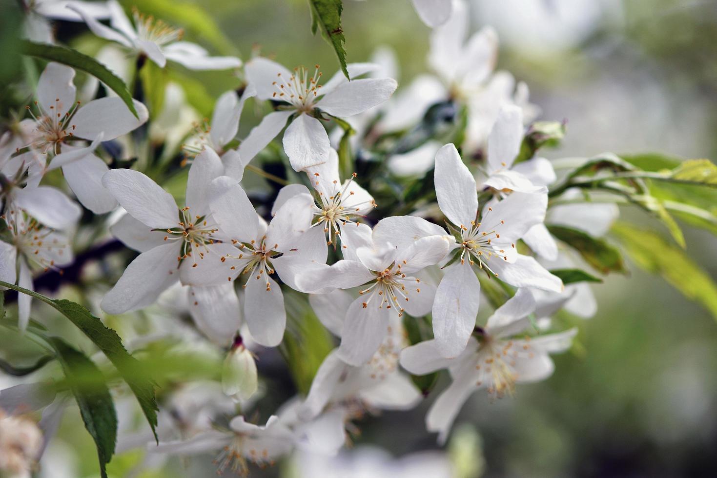 belles fleurs blanches dans le jardin photo