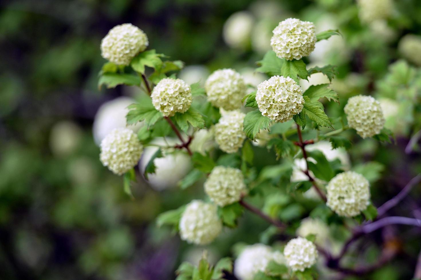 arbustes décoratifs à fleurs blanches photo