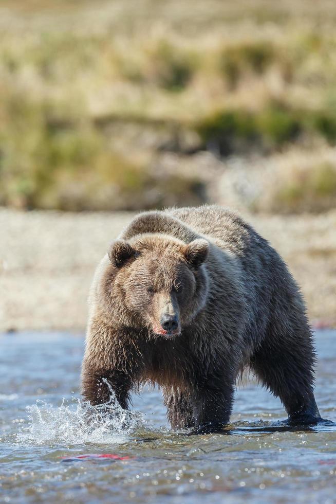 ours grizzli dans la nature de l'alaska photo