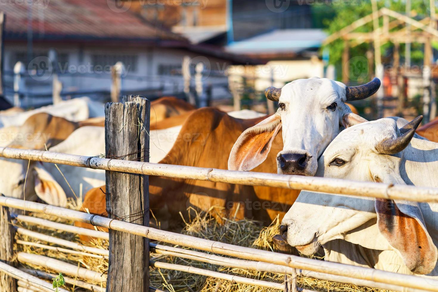 vaches dans une ferme en plein air photo