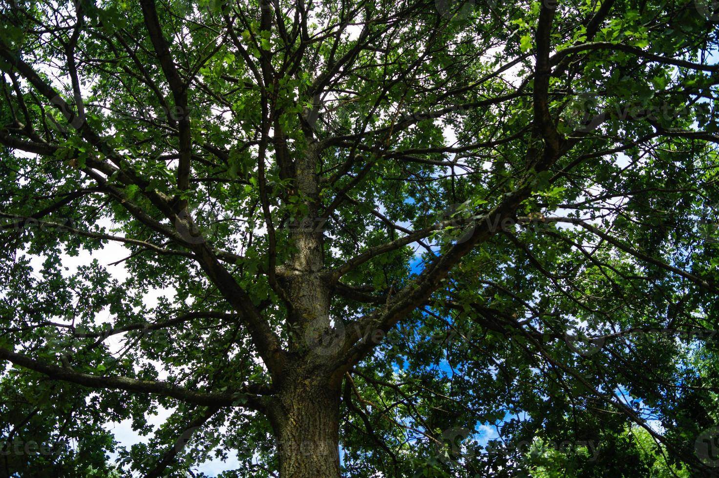 glands d'un chêne photo