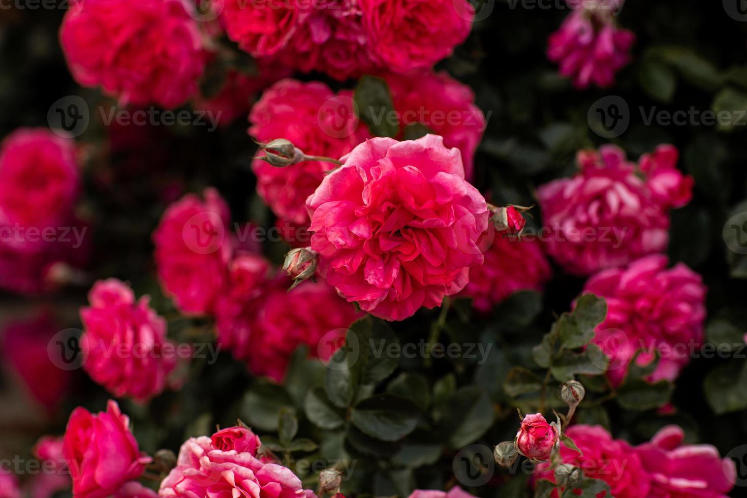 rosier rose florissant, pleine floraison dans le jardin photo