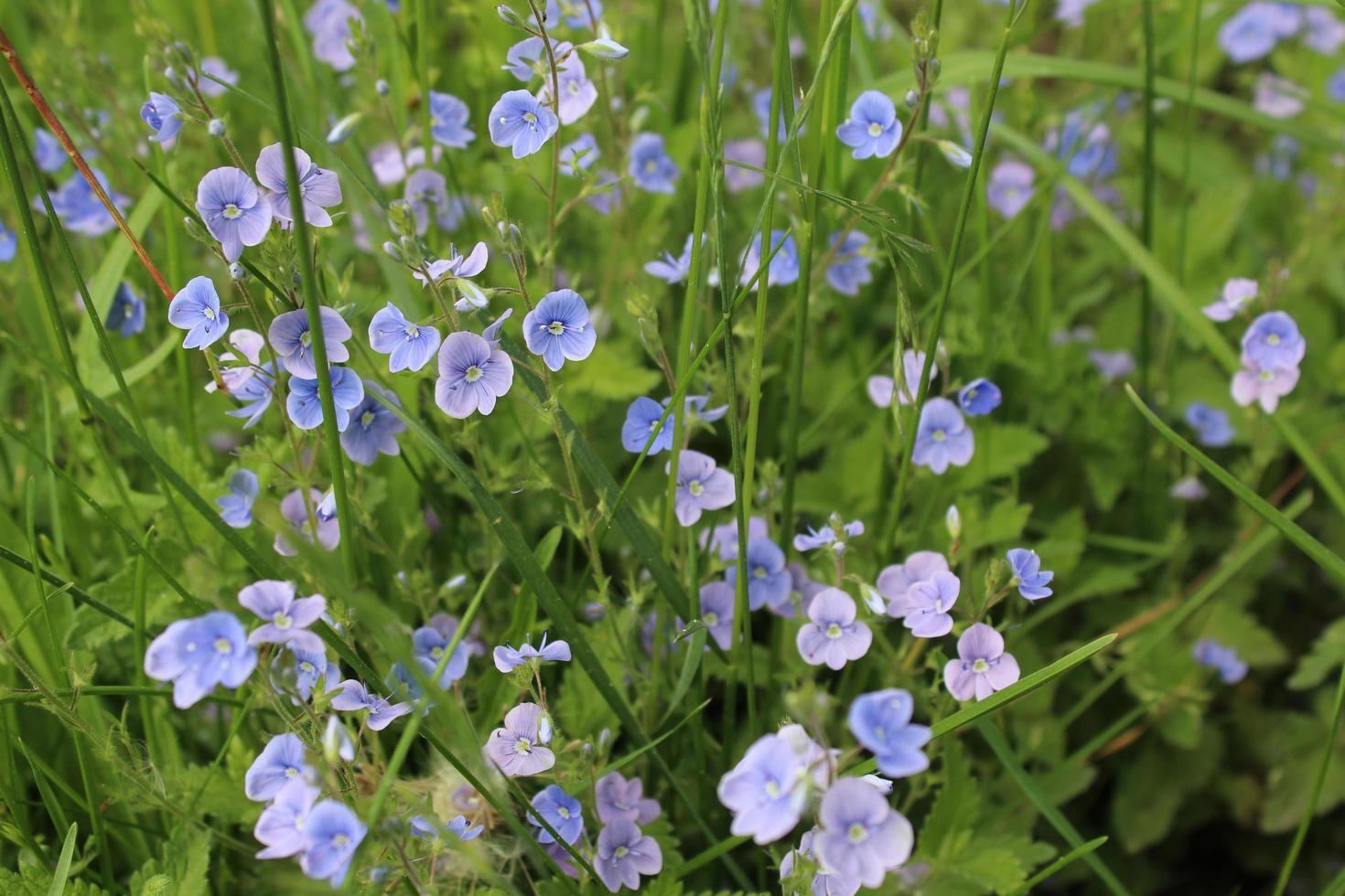 petites fleurs bleues et violettes photo