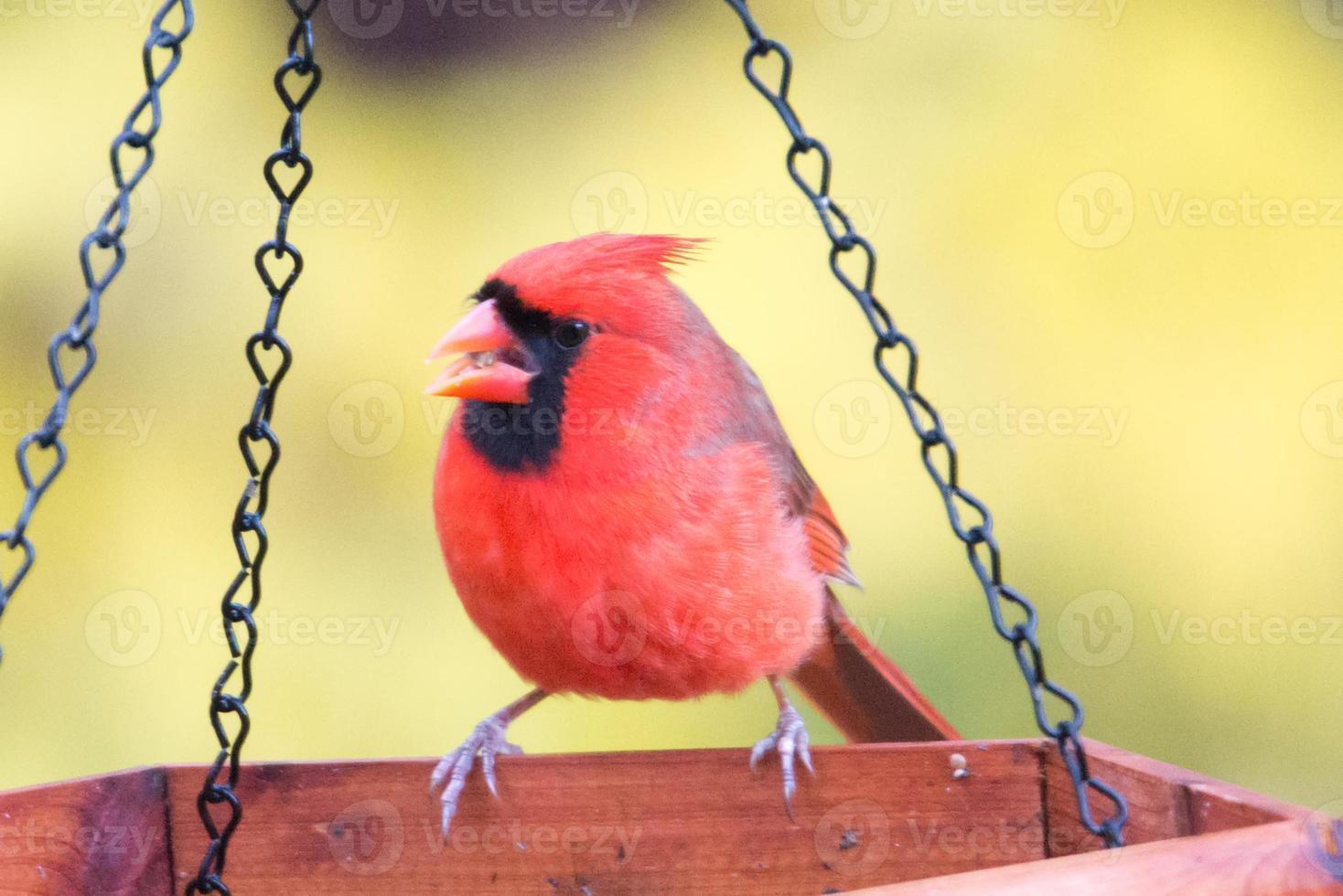 cardinal rouge mangeant à la mangeoire photo