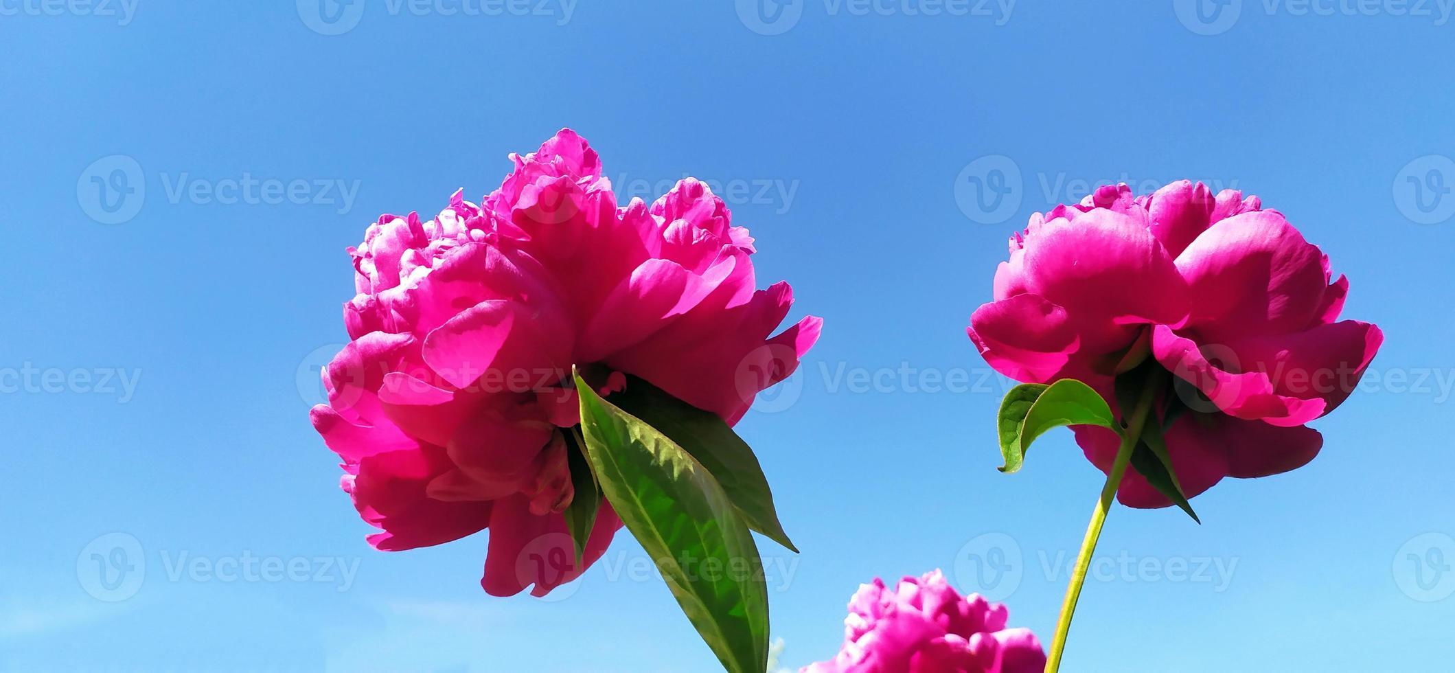 fleurs de pivoine sur fond de ciel bleu et soleil d'été. photo