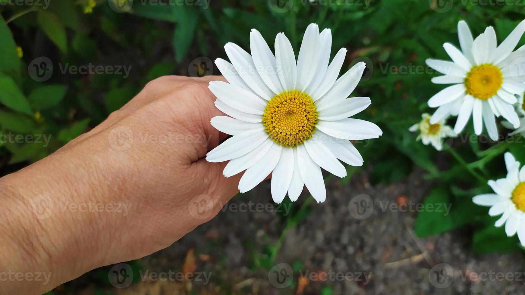 grande camomille dans la paume de votre main. un buisson de marguerites blanches photo