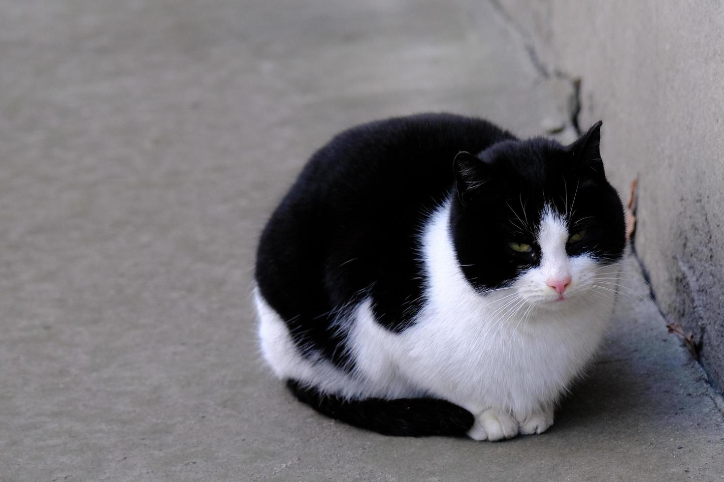 chat de rue tabby noir et blanc aux yeux verts portrait en gros plan photo