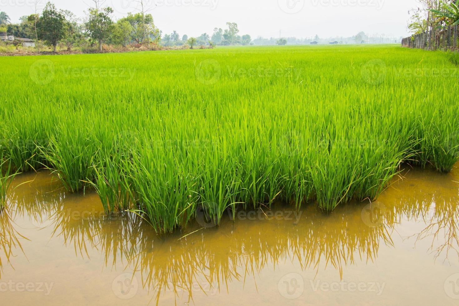champ de riz paddy pendant la journée photo