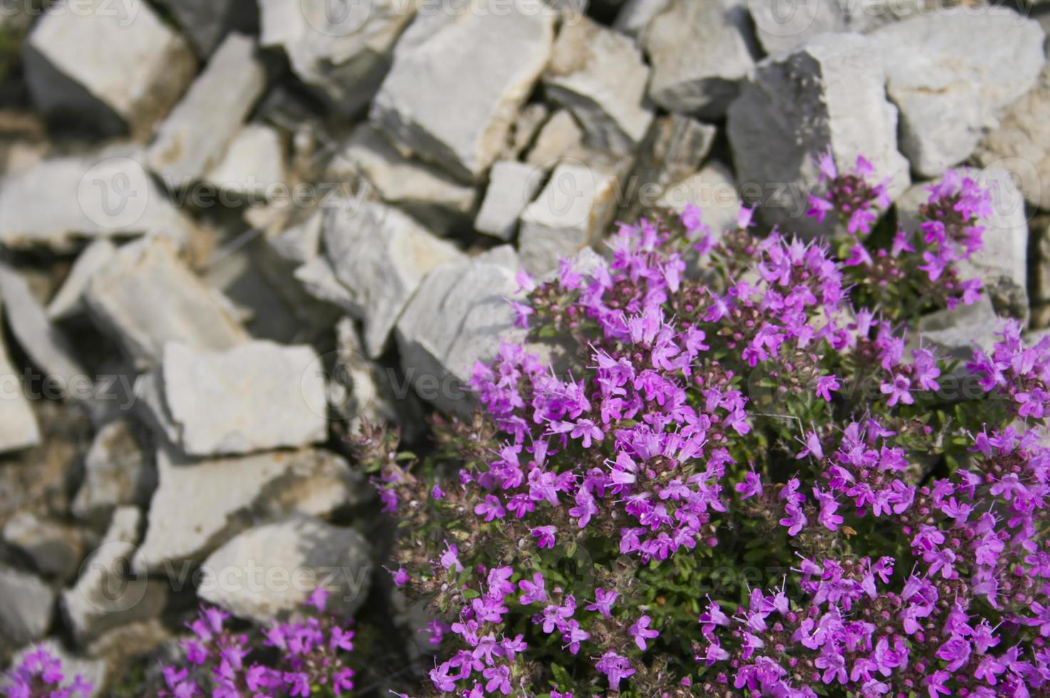 fleurs de thym. phytothérapie. herbes sibériennes. dans photo