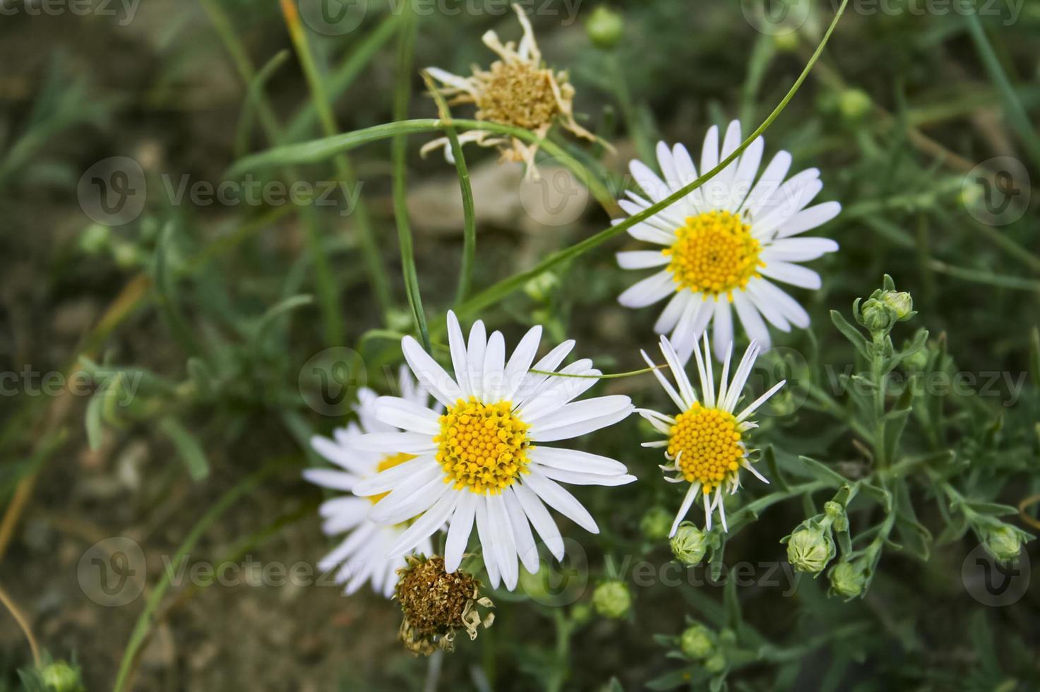 camomille des forêts médicinales. gros plan de fleurs. plante sauvage. photo